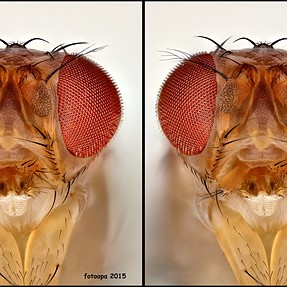 Drosophila melanogaster, portrait small fly.