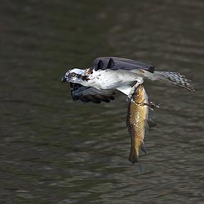 Small Osprey w/Big Fish