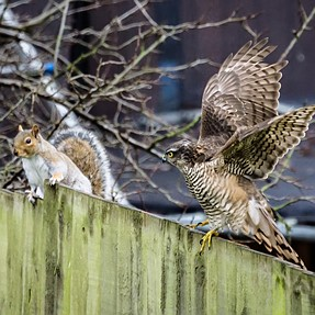 Squirrel & sparrowhawk with FE 70-300mm