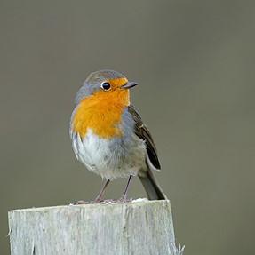 just a robin... A99II
