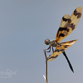 Dragonfly in wind and in flight