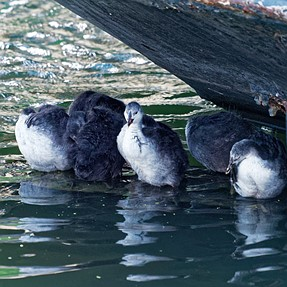 Big coot chicks