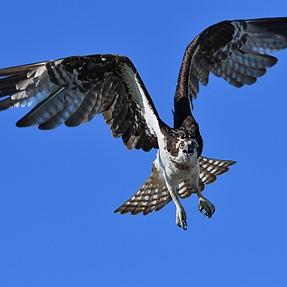 My D500 loves them osprey!