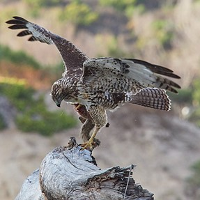 Nature, red in tooth and claw (warning - hawk eating squirrel) and perils of nature photography