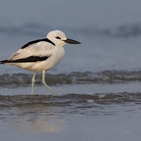 Crab Plover search - A short video