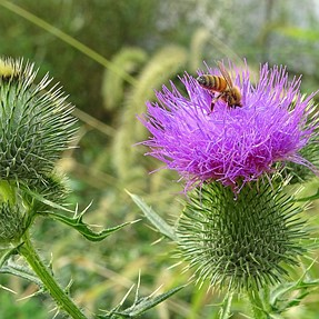 Bees on Thistles flower. Sony HX400V with close up lens VCL-M3358.