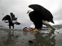 Video: Bald eagle takes off with a camera that was capturing its eating frenzy