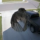 This is what happens when your camera's frame rate matches a bird's wing flap