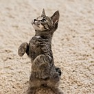 There's an entire subreddit dedicated to pictures of cats standing up