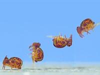 视频:在73,000 FPS以73,000 fps拍摄幻影相机的弹性虫,看看它们是如何移动的
