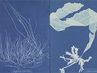 Rare collection of first female photographer's cyanotype algae photos goes on display