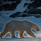 Shooting polar bears with the $12,000 Nikon 180-400mm F4E TC1.4 FL ED VR