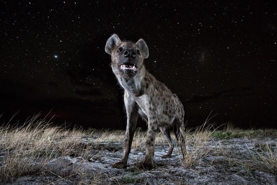 Photo story of the week: Hyena at Night