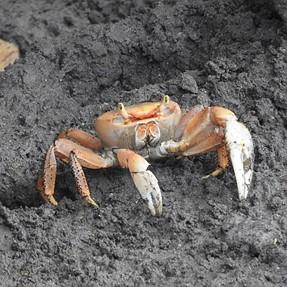 P900 Crab