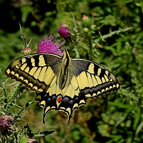 P900 - Butterfly feeding on a thistle flower