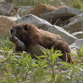 Vancouver Island Marmot and Gray Jay