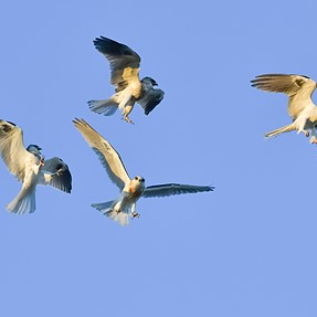 D5, 12FPS and Whitetailed Kites in aerial battle