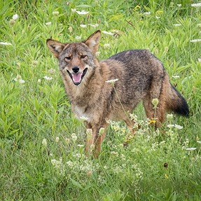last & best image of coyote
