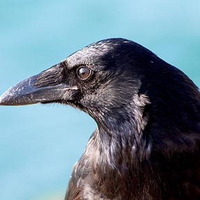 Crow at the sea front. Sandbanks, Poole, UK