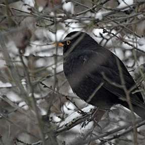 P900 - Blackbird hunt