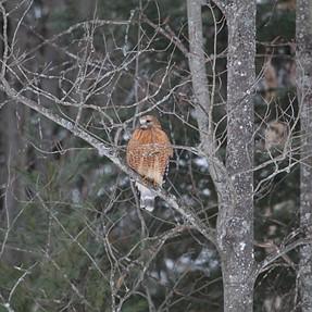 Hawk Identification Needed
