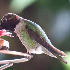 G3X....Hummingbird Captures