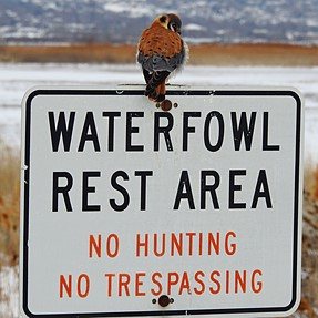 Kesral Hawk at a Rest Area