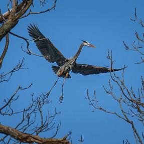 BIF, A6300 w/70-400mm G + LA-EA3 (Great Blue Heron from 100+ Yards Distance)