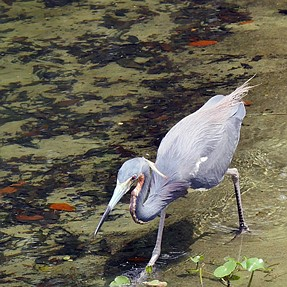 fast walking (blue heron)