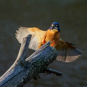 Kingfisher: I almost nailed him!