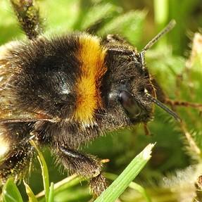 Bumblebee p900