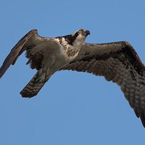 Osprey in flight D500