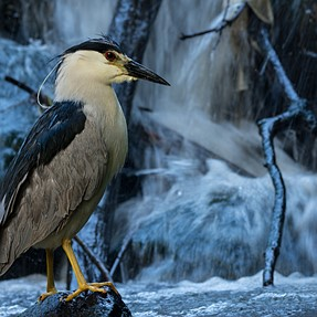 Black Crowned Night Heron- First d7200 shots