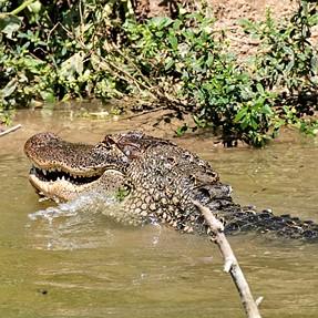 Texas Gators