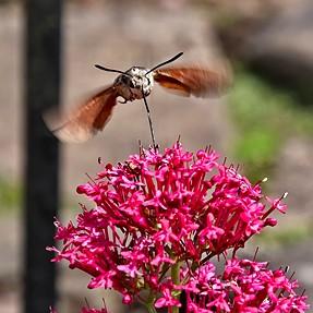Hummingbird Hawk Moth,  Bee Moth.