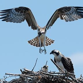 Ospreys and a tern