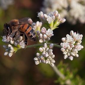Honeybee E1 (12-60mm)