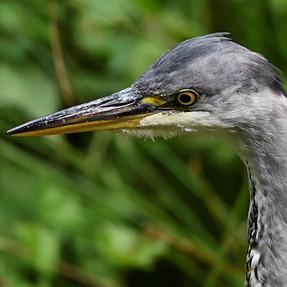 Grey Heron at Adel Dam, near Leeds, UK