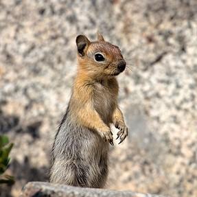 Golden Manteled Ground Squirrels