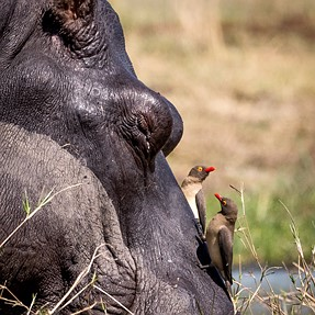 Oxpeckers and their friends