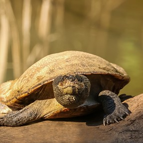 Australian PLatypus,Freshwater Tortoises,Honeyeaters