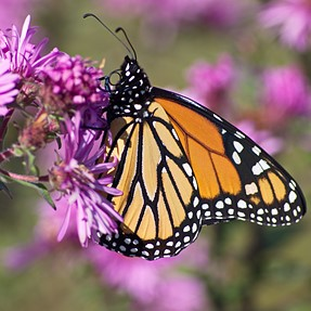 Yet, more Monarchs (and Asters)