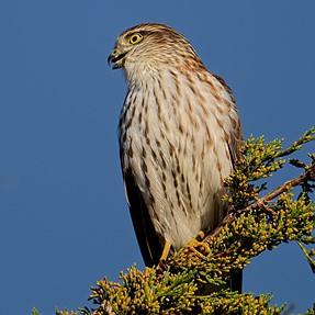 Falcon ID please.