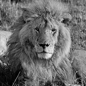 Masai Mara - Kenya (Lions)