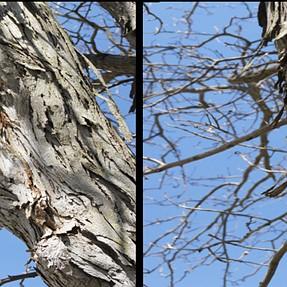 """Shag-bark hickory"" stereography using monocular depth cues"