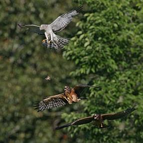 Northern Harrier Prey Drop