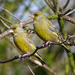 A pair of Greenfinch