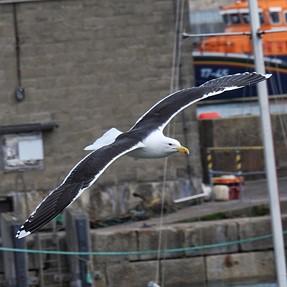 P900, bird in flight