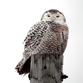 Snowey Owl Today