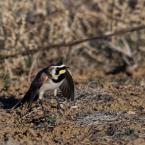 Dance of the Horned Lark plus a couple of others